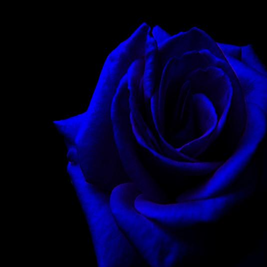 ! Blue Rose !