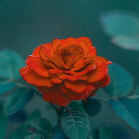 Orange Rose [128x]